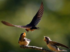 Weatherwatch: When Swallows fly high, the weather will be dry