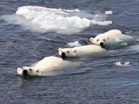 Weatherwatch: Arctic sea ice breakup is bad news for polar bears