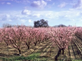 Weatherwatch: A bad winter for California's cherries…